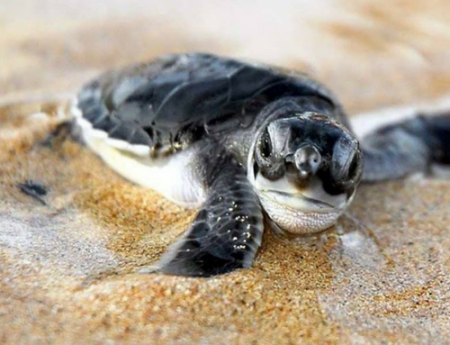 Here's all you need to know about the Gilis' green turtles